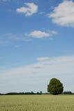 πρώιμο δρύινο θερινό δέντρο Στοκ φωτογραφία με δικαίωμα ελεύθερης χρήσης