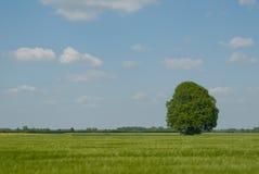 πρώιμο δρύινο θερινό δέντρο Στοκ Φωτογραφία