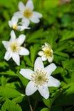 Πρώιμο ελατήριο που ανθίζει το ξύλινο anemone (nemorosa anemone), κάθετο Στοκ εικόνες με δικαίωμα ελεύθερης χρήσης