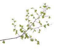 Πρώιμο ελατήριο τον πράσινο κλάδο δέντρων που απομονώνεται που ανθίζει στο λευκό Στοκ εικόνες με δικαίωμα ελεύθερης χρήσης