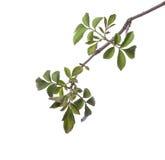 Πρώιμο ελατήριο τον πράσινο κλάδο δέντρων που απομονώνεται που ανθίζει στο λευκό Στοκ εικόνα με δικαίωμα ελεύθερης χρήσης
