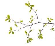 Πρώιμο ελατήριο τον πράσινο κλάδο δέντρων που απομονώνεται που ανθίζει στο λευκό Στοκ Φωτογραφία
