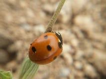 Πρώιμο ελατήριο ladybug Στοκ φωτογραφία με δικαίωμα ελεύθερης χρήσης