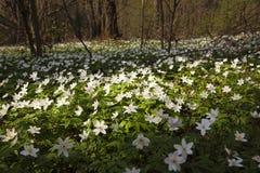 πρώτα άσπρα λουλούδια Στοκ φωτογραφία με δικαίωμα ελεύθερης χρήσης