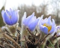 Πρώτα μπλε λουλούδια ύπνος-χλόης Μαρτίου άνοιξη, snowdrop Στοκ Φωτογραφία