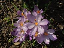 Πρώτα λουλούδια άνοιξη σε έναν κήπο Στοκ εικόνα με δικαίωμα ελεύθερης χρήσης