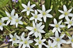 Πρώτα λουλούδια άνοιξη της αστέρι--Βηθλεέμ Ornithogalum umbellat Στοκ φωτογραφία με δικαίωμα ελεύθερης χρήσης