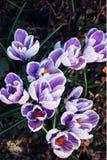 Πρώτα λουλούδια κρόκων Άνθη άνοιξη ηλικίας φωτογραφία Στοκ Εικόνα