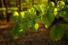 Πρώτα φύλλα στην άνοιξη Στοκ φωτογραφία με δικαίωμα ελεύθερης χρήσης