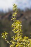 Πρώτα φύλλα του σφενδάμνου, άνοιξη με το βουνό στο υπόβαθρο Στοκ φωτογραφία με δικαίωμα ελεύθερης χρήσης