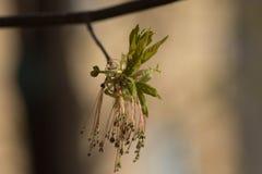 Πρώτα φύλλα του σφενδάμνου, άνοιξη Στοκ Εικόνες