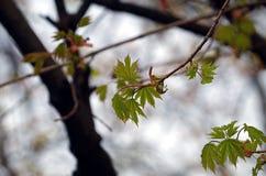 πρώτα φύλλα Στοκ Φωτογραφίες
