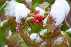 Πρώτα χιόνι και arrowwood κόκκινο Στοκ Εικόνες