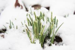 Πρώτα snowbell βλαστάνει τον Ιανουάριο στοκ εικόνα με δικαίωμα ελεύθερης χρήσης
