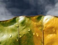 Πρώτες πτώσεις βροχής του έτους στο φύλλο ελεφάντων αυτιών στοκ φωτογραφίες με δικαίωμα ελεύθερης χρήσης