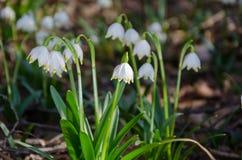 πρώτη άνοιξη λουλουδιών Λουλούδια Snowdrops σε ένα υπόβαθρο του α Στοκ Εικόνα