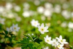 πρώτη άνοιξη λουλουδιών Στοκ εικόνα με δικαίωμα ελεύθερης χρήσης