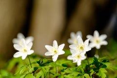 πρώτη άνοιξη λουλουδιών Στοκ φωτογραφία με δικαίωμα ελεύθερης χρήσης