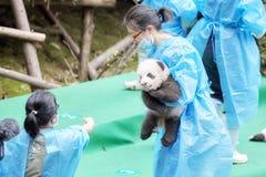 Πρώτη δημόσια επίδειξη ένδεκα pandas μωρών στην ερευνητική βάση Chengdu της γιγαντιαίας αναπαραγωγής της Panda Στοκ Εικόνα