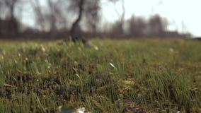 Πρώτη πράσινη χλόη, χορτοτάπητας στον κήπο Η πρώτη χλόη μετά από το χειμώνα Έννοια: νέα ζωή 4K απόθεμα βίντεο