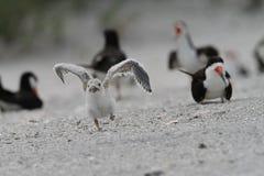 Πρώτη πτήση αποβουτυρωτών - τρέχοντας έναρξη στοκ φωτογραφία