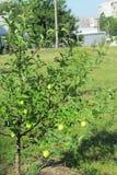 Πρώτη συγκομιδή ενός Apple-δέντρου Στοκ φωτογραφία με δικαίωμα ελεύθερης χρήσης