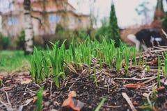 Πρώτοι πράσινοι νεαροί βλαστοί άνοιξη των τουλιπών στον κήπο Έννοια προσοχής Environtment και φύσης Στοκ Φωτογραφία