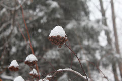 Πρώτος κλάδος χιονιού Στοκ Φωτογραφίες