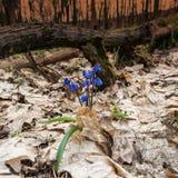 Πρώτος μήνας λουλούδι-Μαρτίου άνοιξη Στοκ Φωτογραφία