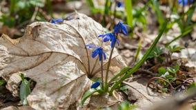 Πρώτος μήνας λουλούδι-Μαρτίου άνοιξη Στοκ εικόνες με δικαίωμα ελεύθερης χρήσης