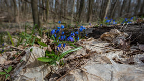 Πρώτος μήνας λουλούδι-Μαρτίου άνοιξη Στοκ Φωτογραφίες