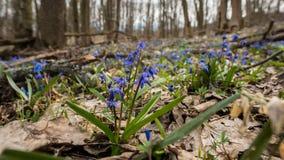 Πρώτος μήνας λουλούδι-Μαρτίου άνοιξη Στοκ Εικόνα