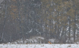 πρώτο κόκκινο χιόνι αλεπού&d στοκ εικόνες
