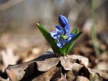 Πρώτο μπλε λουλούδι Snowdrop να ανεβεί ήλιων Στοκ Εικόνες