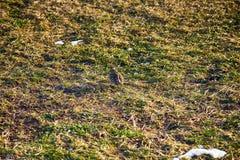 Πρώτο πρόωρο πουλί (ο ουρανός lark (arvensis Alauda) έφθασε από το νότο Στοκ Φωτογραφία