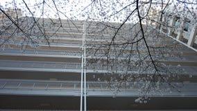 Πρώτο πλάνο κλάδων ανθών κερασιών στο άσπρο υπόβαθρο οικοδόμησης Στοκ φωτογραφία με δικαίωμα ελεύθερης χρήσης