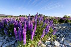 Πρώτο πλάνο που γεμίζουν με τα ζωηρόχρωμα lupines Στοκ Φωτογραφία