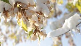 Πρώτο χιόνι στα δέντρα απόθεμα βίντεο