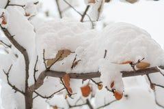 Πρώτο χιόνι στον κλάδο ενός κυδώνι-δέντρου, κινηματογράφηση σε πρώτο πλάνο Στοκ Εικόνες