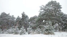 Πρώτο χιόνι στο δάσος, δέντρα πεύκων που καλύπτονται στο χιόνι απόθεμα βίντεο