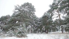 Πρώτο χιόνι στο δάσος, δέντρα πεύκων που καλύπτονται στο χιόνι φιλμ μικρού μήκους