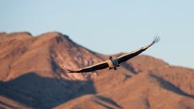 πτήση γερανών sandhill Στοκ Εικόνα