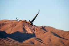 πτήση γερανών sandhill Στοκ Εικόνες
