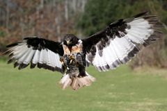 πτήση καρακαξών πουλιών jackal Στοκ Φωτογραφία