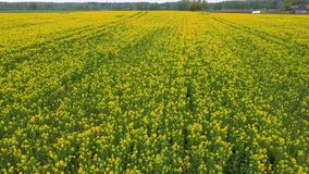 Πτήση πέρα από τον τομέα με τα ανθίζοντας λουλούδια Canola Εναέριο μήκος σε πόδηα Dron απόθεμα βίντεο