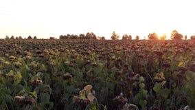 Πτήση πέρα από τον τομέα του ξηρού ηλίανθου στο ηλιοβασίλεμα απόθεμα βίντεο