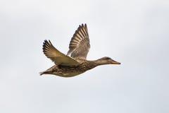Πτήση παπιών Στοκ φωτογραφία με δικαίωμα ελεύθερης χρήσης