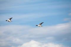 πτήση παπιών Στοκ εικόνα με δικαίωμα ελεύθερης χρήσης