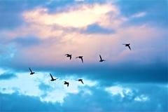 Πτήση παπιών Στοκ Φωτογραφίες