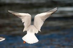 Πτήση της Γενεύης Ελβετία seagull στοκ φωτογραφία με δικαίωμα ελεύθερης χρήσης
